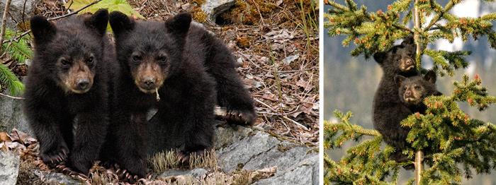 Whistler cubs