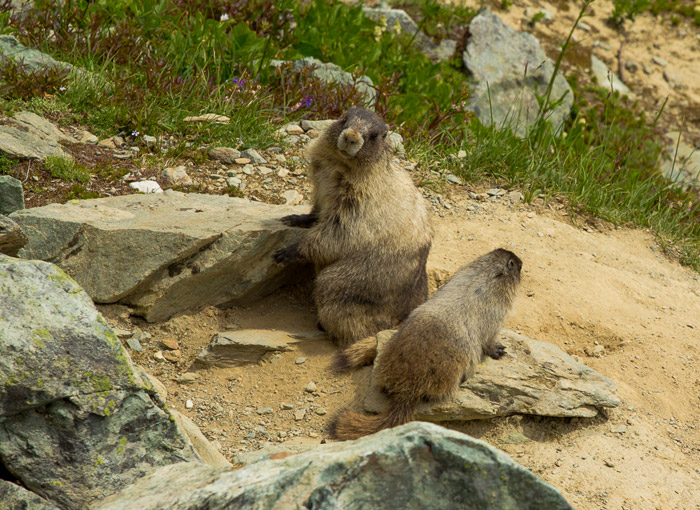 Hoary Marmots on Whistler Mountain