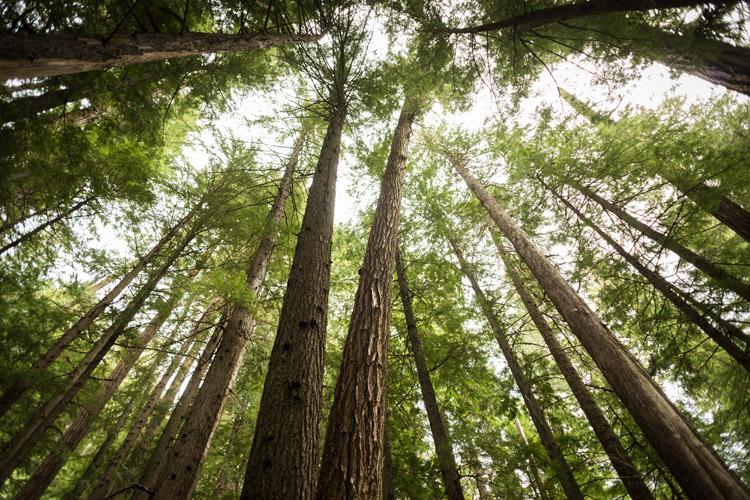 Cedar trees on the way to Cheakamus Lake