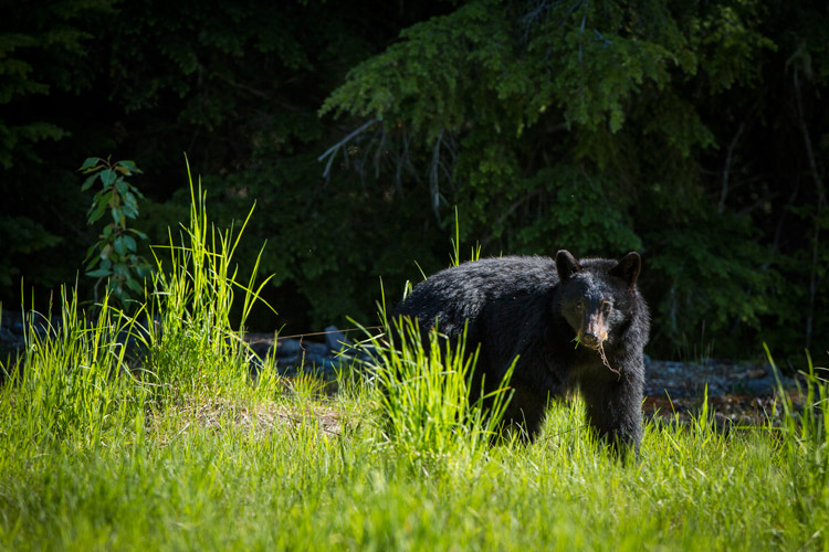 Black bear in Callaghan valley