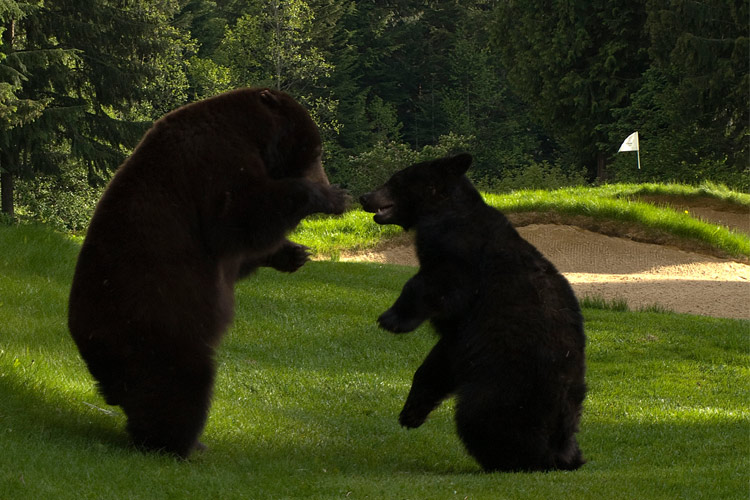 Bears play on the Whistler Golf Club links