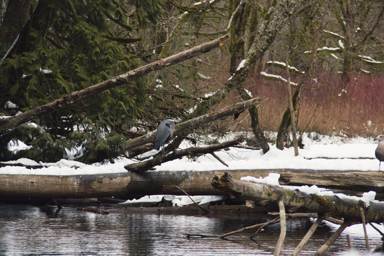 Blue Heron on Cheakamus River