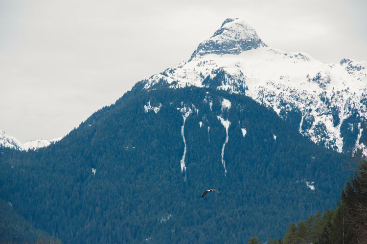 Bald Eagle flying in the mountains