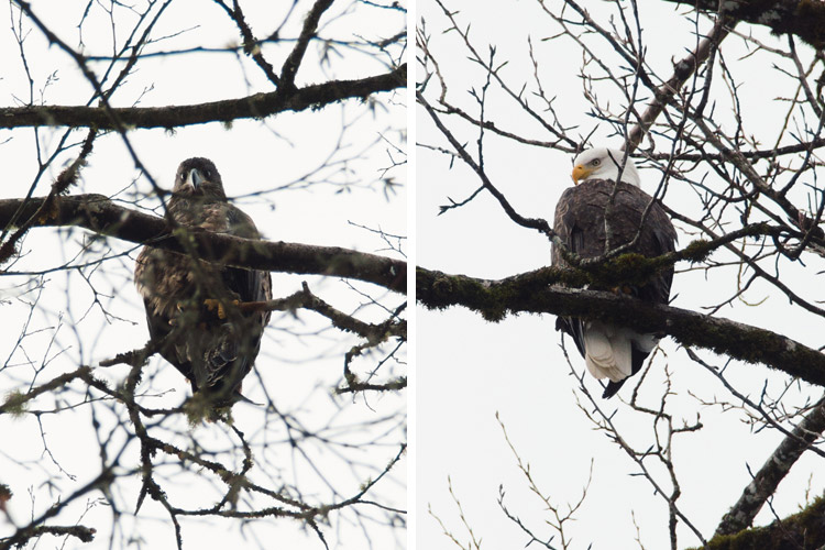 A Juvenille and an Adult Bald Eagle