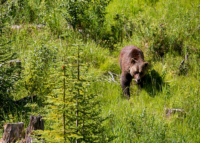Bear viewing in Callaghan Valley