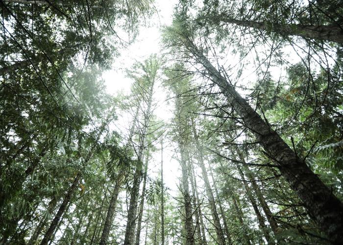 Trees at Cheakamus