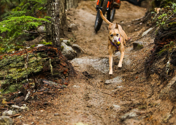 Dog on mountain bike trail