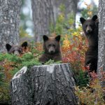 Three bears in the forest