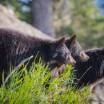 Whistler Photo Safari Bear Tour