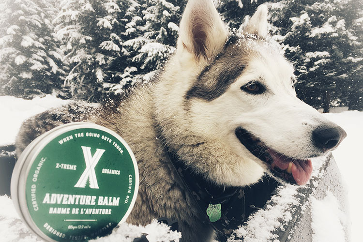 A husky with the adventure balm in Whistler.