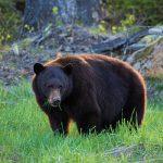 A bear eating grass on a summer ski slope.