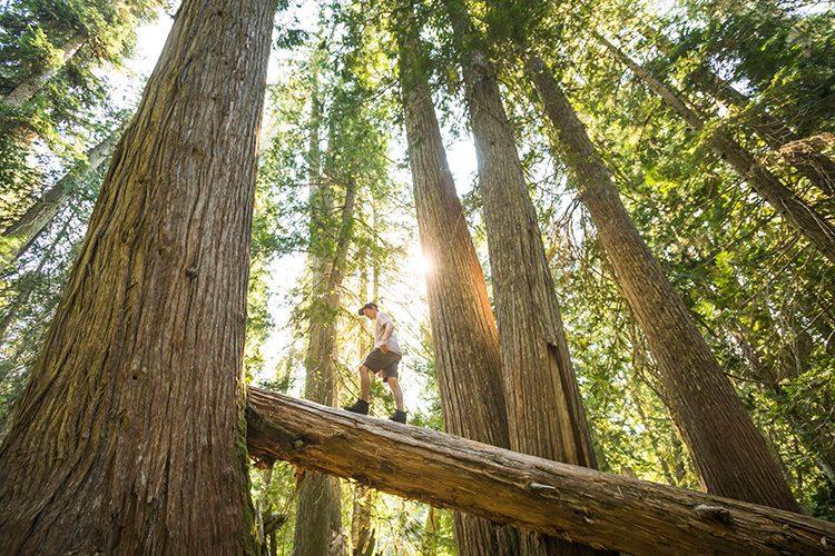Man standing on a fallen cedar tree in Whistler