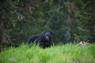 A Black Bear eating greens in Whistler