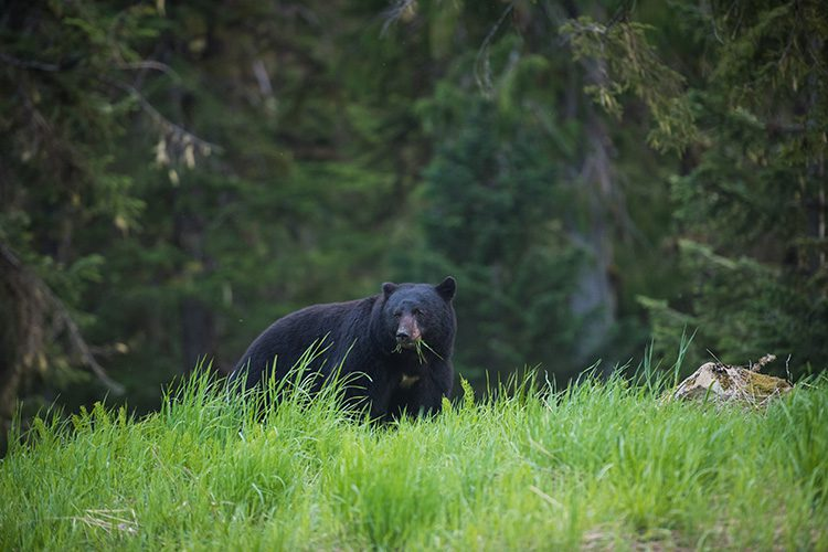 A Black Bear eating greens in Whistler