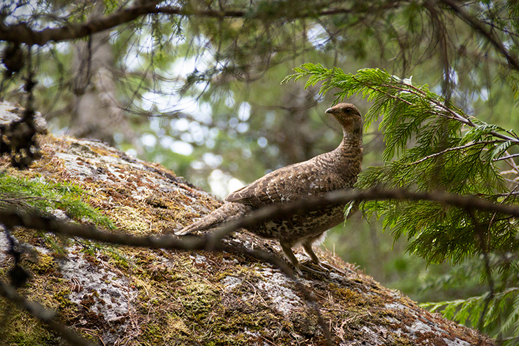 A grouse on a trail in Whistler