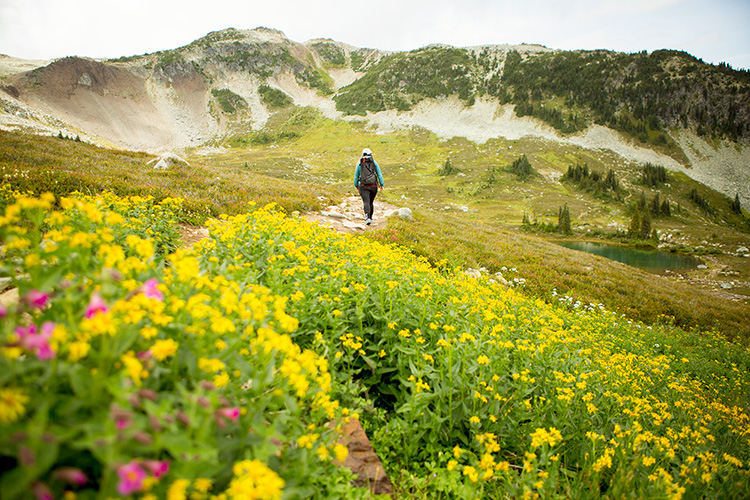 A hiking trail with yellow alpine wildlflowers