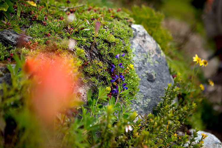 Purple wildflower growing on a rock