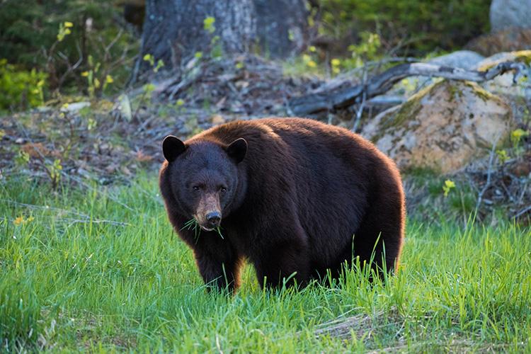Black bear eating grass in Whistler