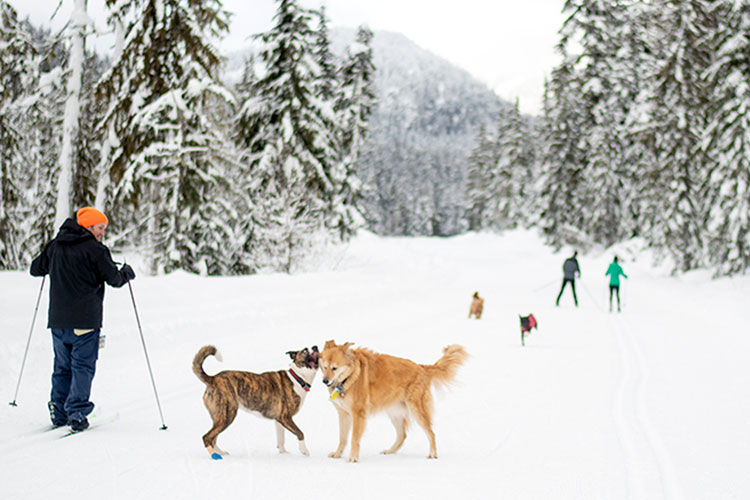 Cross country skiing with your dog at Whistler Olympic Park.