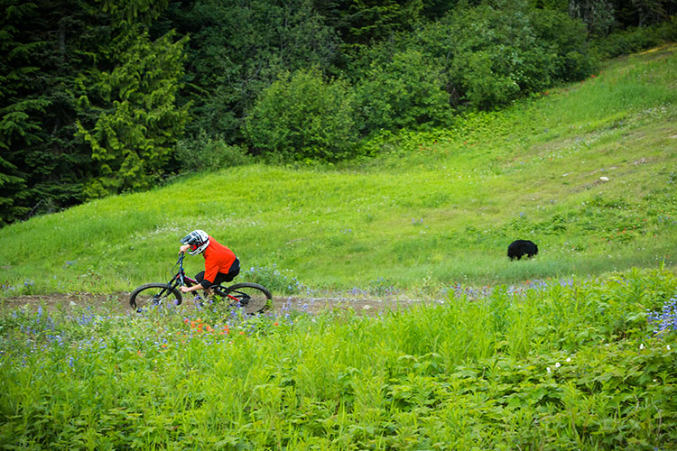 A black bear grazes in the Whistler Mountain Bike Park.