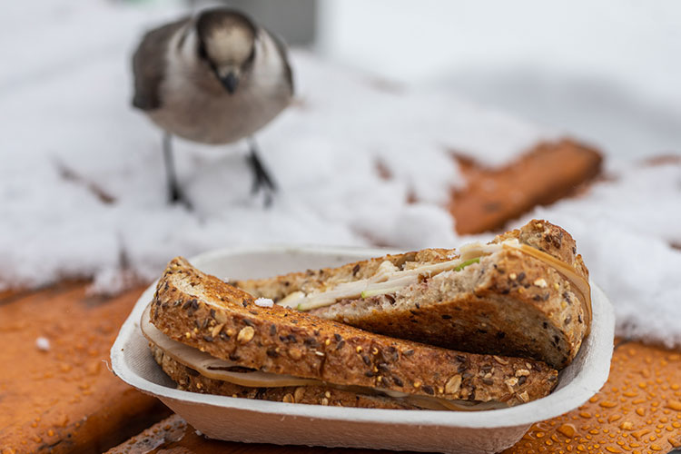 A Whisky Jack tries to steal a grilled cheese sandwich on Whistler Blackcomb.