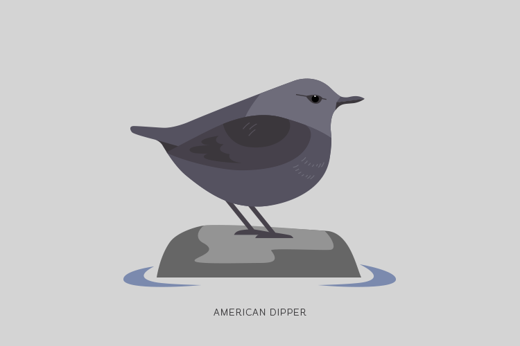 A drawing of an American Dipper.