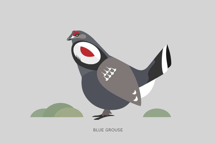A drawing of a Blue Grouse.