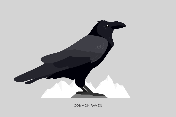 A drawing of a Common Raven.