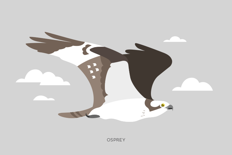 A drawing of an Osprey.