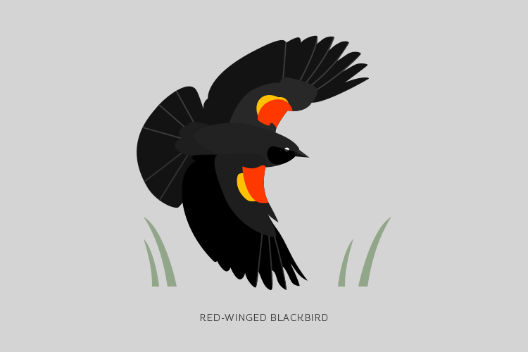 A drawing of a Red-Winged Blackbird