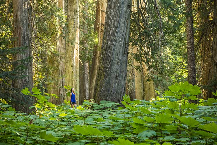 Woman walking between giant cedar trees while forest bathing