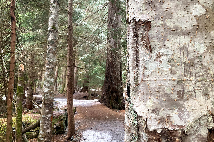 The old growth tress in the Fitzsimmons Accessible Nature Trail, the one in the foreground has bear claw marks on it.