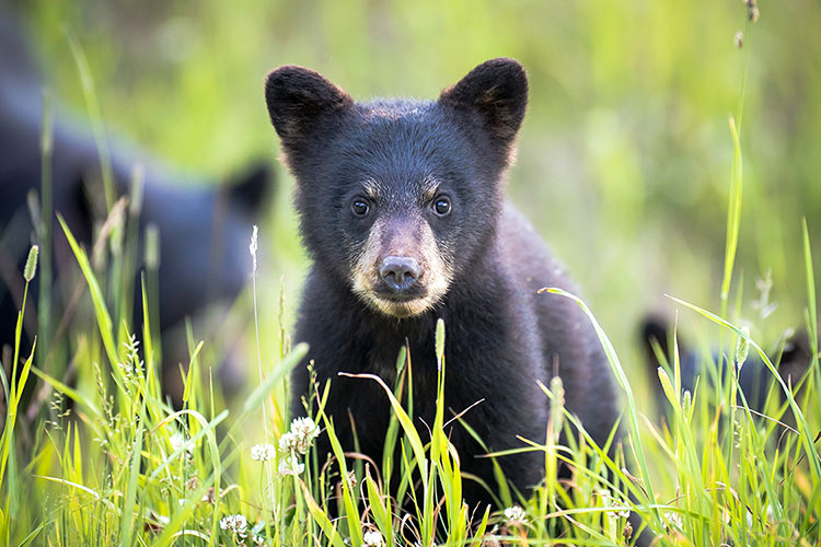A black bear cub, sitting in a green grass, looks straight at the camera.