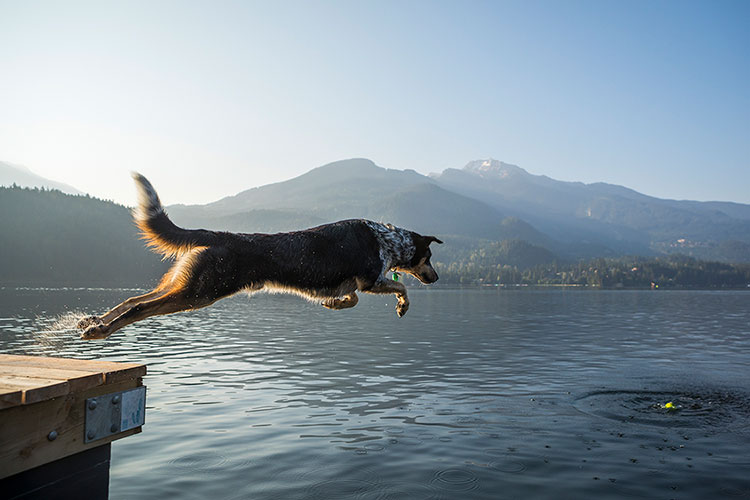 A dog jumps off a dock into a lake in Whistler.