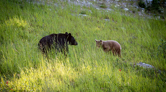Bears in Whistler