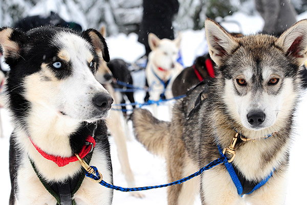 Dog Sledding in Whistler